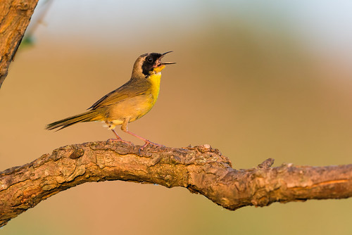 songbird singing pennypackonthedelaware sunset nature bird pennypack wildlife warbler perch commonyellowthroat philadelphia pennsylvania unitedstates us nikon d800e