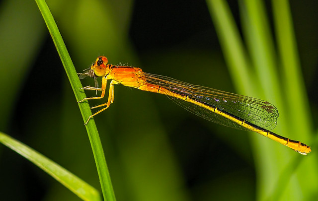 Scarce blue-tailed damselfly, female, Bledi kresničar z plenom
