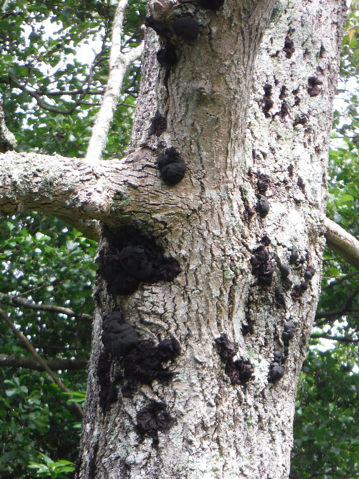 Fungi on Tree, near Black Pond, Burton Park SWC Walk 294 - Pulborough to Halfway Bridge (via Tillington)