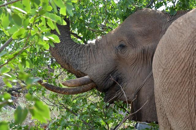 Desert Adapted Elephants in Damaraland - Namibia.