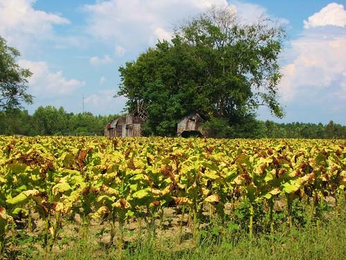 lillington northcarolina harnettcounty usroute401 ruralsouth rural tobaccofarm tobacco cumulusclouds bluesky tobaccoroad oldbarn tobaccobarn goldleaftobacco farm farmers familyfarm gerrydincher nc