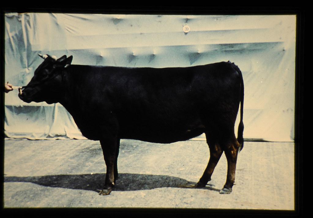 Japanese Black = 世界の牛 黒毛和種(雌)