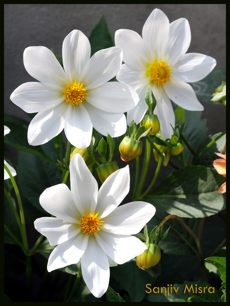 GOOD MORNING WITH FRESH FLOWERS | Sanjiv Misra | Flickr