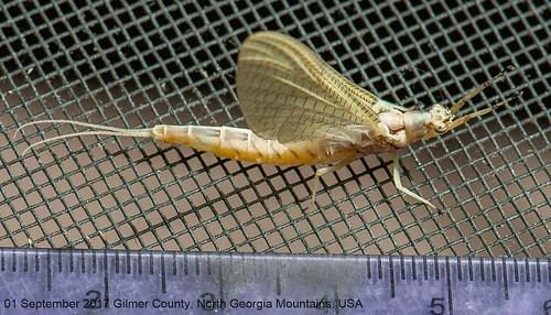 hexagenia limbata mayfly mayflies empheroptera bug bugguide