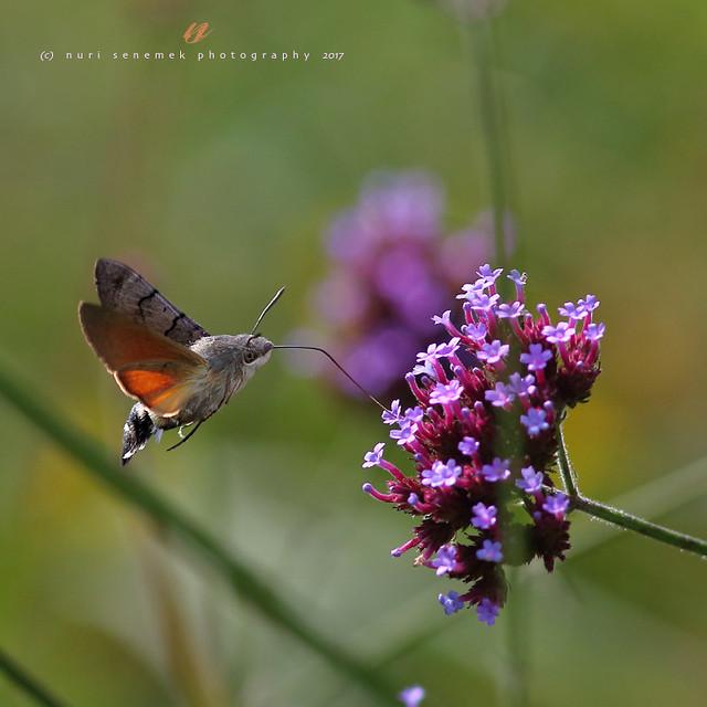 Hummingbird hawk-moth  (1)