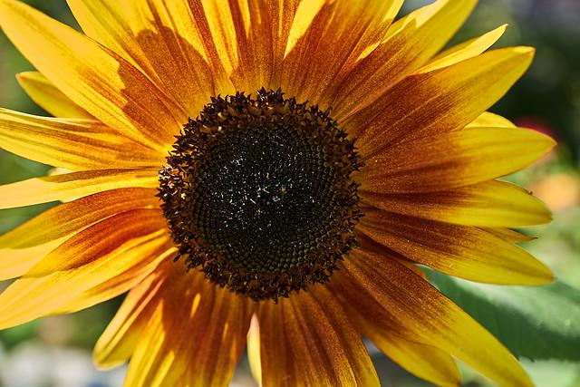 sunflower_L2100945