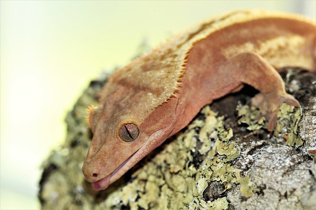 Red Pinstripe Crested Gecko