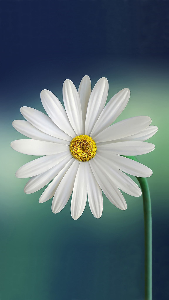 White And Yellow Flower Iphone 8 Wallpaper White And Yello