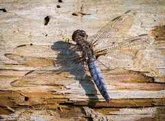 Dragonfly at Conestee Nature Park.