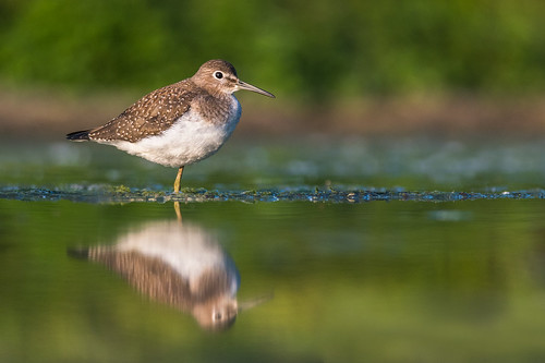 shorebird portrait tringasolitaria nature bird wildlife water green solitarysandpiper migration reflection sandpiper fortwashington pennsylvania unitedstates us nikon d500