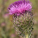 Bristle Thistle - Photo (c) Mary Keim, some rights reserved (CC BY-NC-SA)