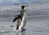 A king penguin emerging from the sea by takashi muramatsu