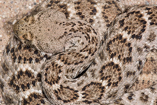 Western Diamondback Rattlesnake | by Jeremy Wright Photography
