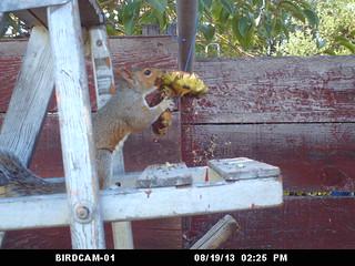 squirrel sunflower