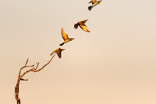 The European bee eater flight