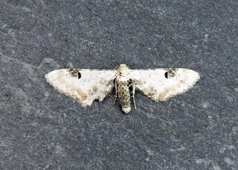70.173 Lime-speck Pug - Eupithecia centaureata