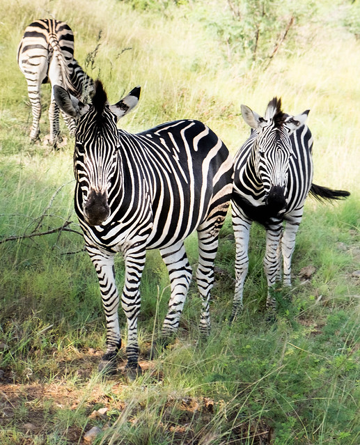 Three zebras, Pilanesberg, South Africa