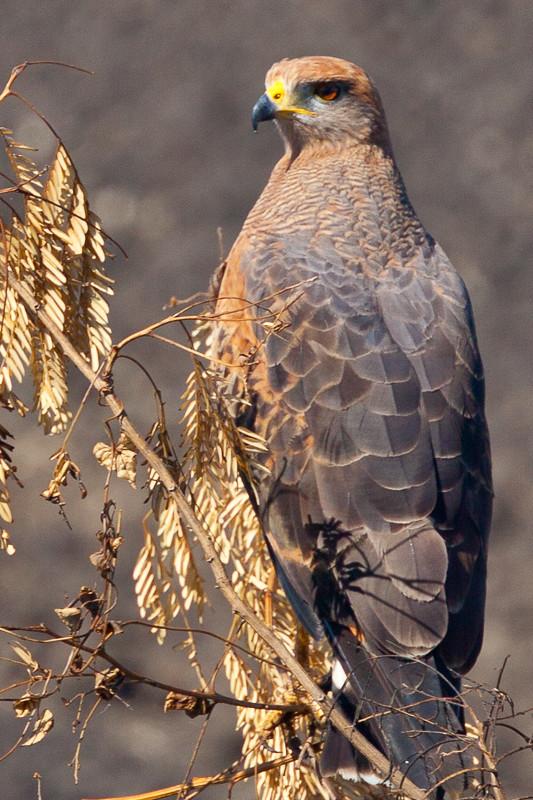 Savanna Hawk