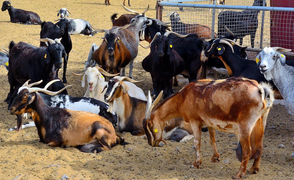 You Talking To Me ?   Goat Farm, FV2, Tuineje, Fuerteventura