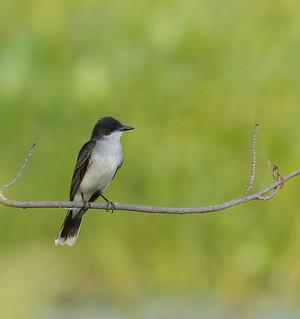 eastern kingbird petrie island 04072015_DSC6836 | by David Villeneuve