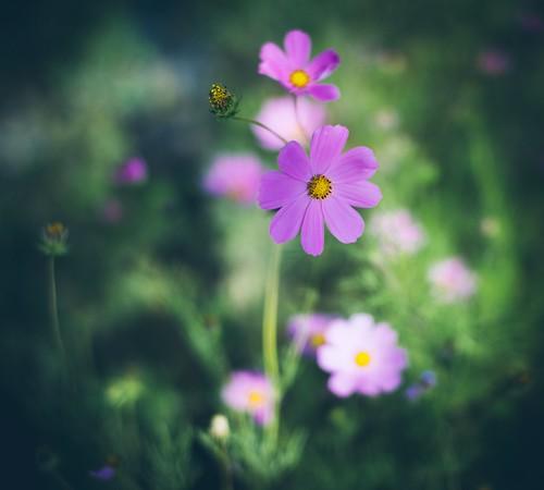 Your beloved flower... | by Pavel Valchev