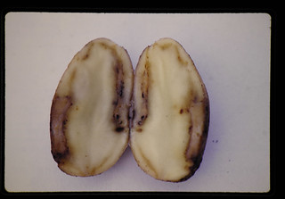 Potato Tuber Wilt = 病気のジャガイモ