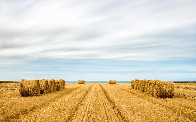 Behind wheat, the sea