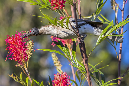 Noisy Friarbird feeding on Grevillea nectar (2) | by bidkev1 and son (see profile)