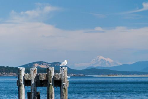 bc britishcolumbia vancouverisland sidney waterfrontwalkway seagull gull mountbaker mountain