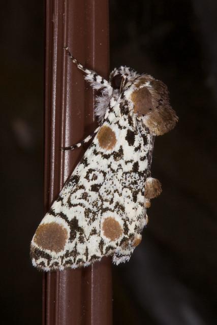 Harrisimemna trisignata (Harris's Three-spot)
