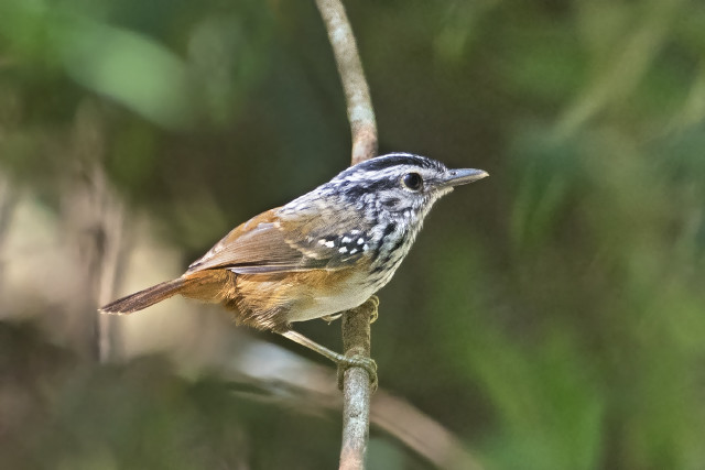 Cantador-da-guiana (Hypocnemis cantator) macho