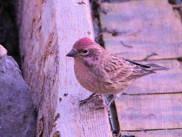 Cassin's Finch male 3-20170911