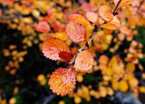 Autumn Leaves - Alaska