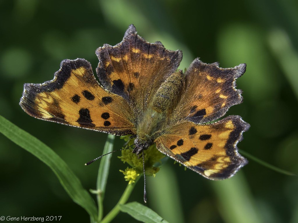 Green Comma   Green Comma butterfly feeding on goldenrod at …   Flickr