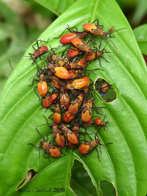 Coreidae bug nymphs ?