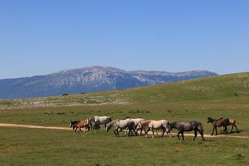europe europa bosnia bosna bosniahercegovina bosnaihercegovina balkan balkans cincar livno horses wildhorses krug