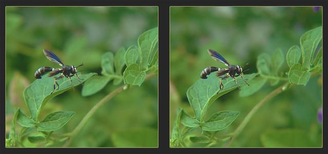 Physocephala tibialis, Thick-headed Fly 1 - Crosseye 3D