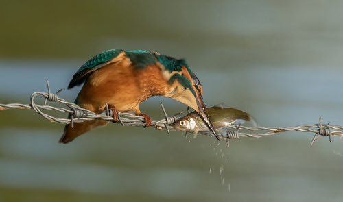 kingfisher tension on the wire | by Evelakes67