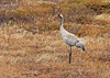 Common Crane (Grus grus) by Francisco Piedrahita