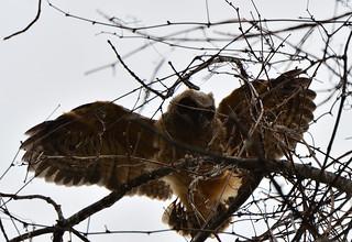 great horned owlet petrie island 15052016 DSC_0434 | by David Villeneuve