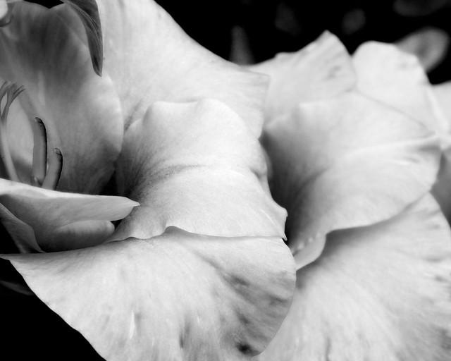 Gladiola up Close