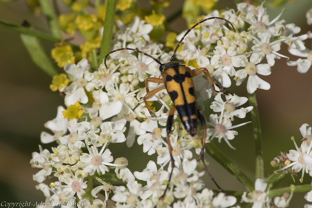 Black-and-yellow Longhorn Beetle.