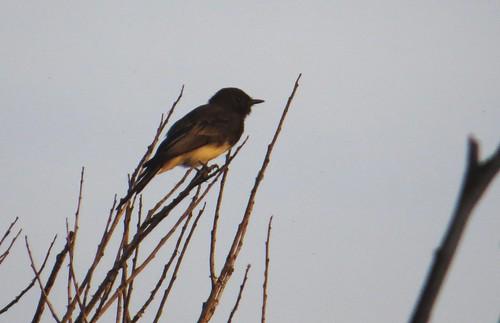 kevinlucas yakimacounty yakimararebird yakimacountyrarebird blackphoebe sayornisnigricans lateralc toppenishcreek birdingethics ericheisey bragyak deny pointandshoot