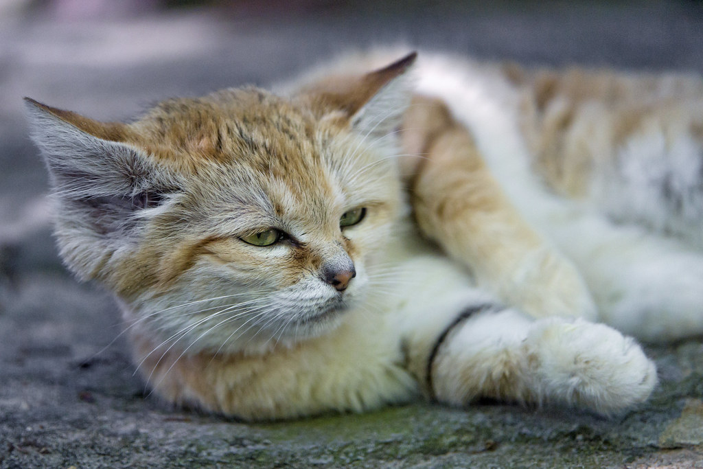 Sand cat resting | A portrait of a sand cat lying down. Made… | Flickr