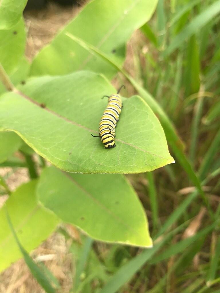 Monarch Caterpillar on Common Milkweed