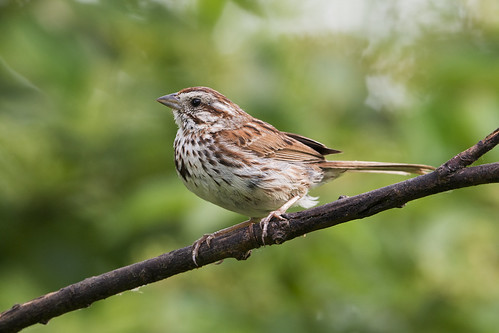 Song Sparrow (Melospiza melodia) | by Frank Shufelt