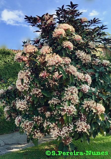Starburst Clerodendrum Bush, Árbol de Bouquet de Novia, El Salvador