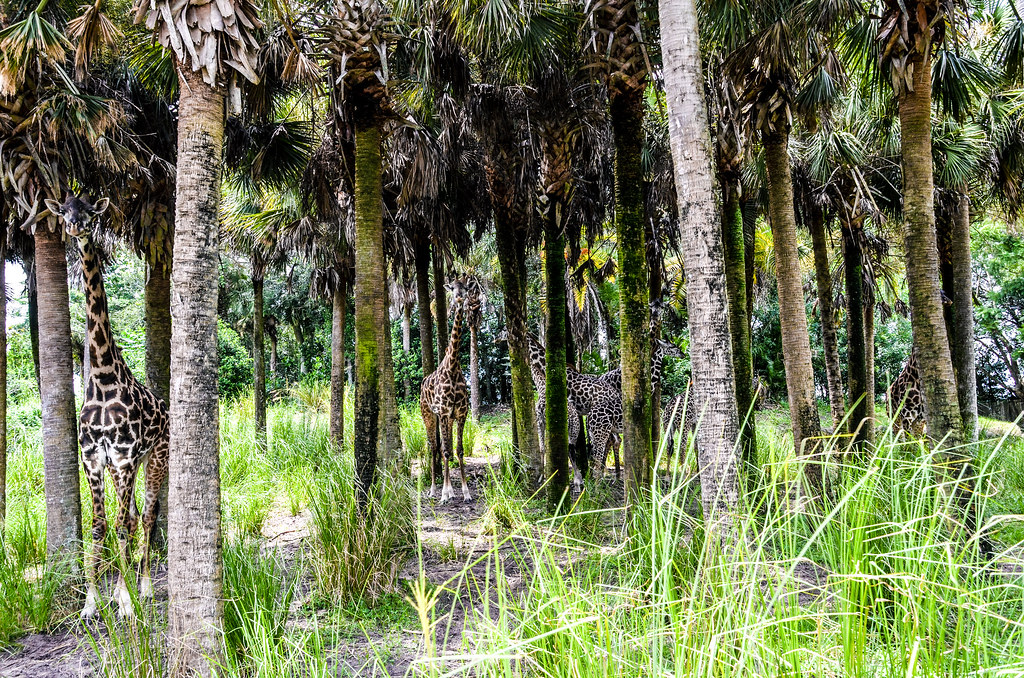 Giraffes in trees WAT AK