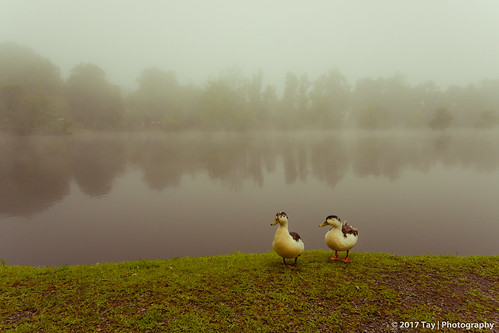 ashevilleeast swannanoa northcarolina usa fog thick ducks nature trees river camping grass water quak scenic united states america tay photography foggy limited view misty