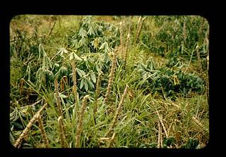 Harvest Of Cassava = キャツサバの収穫